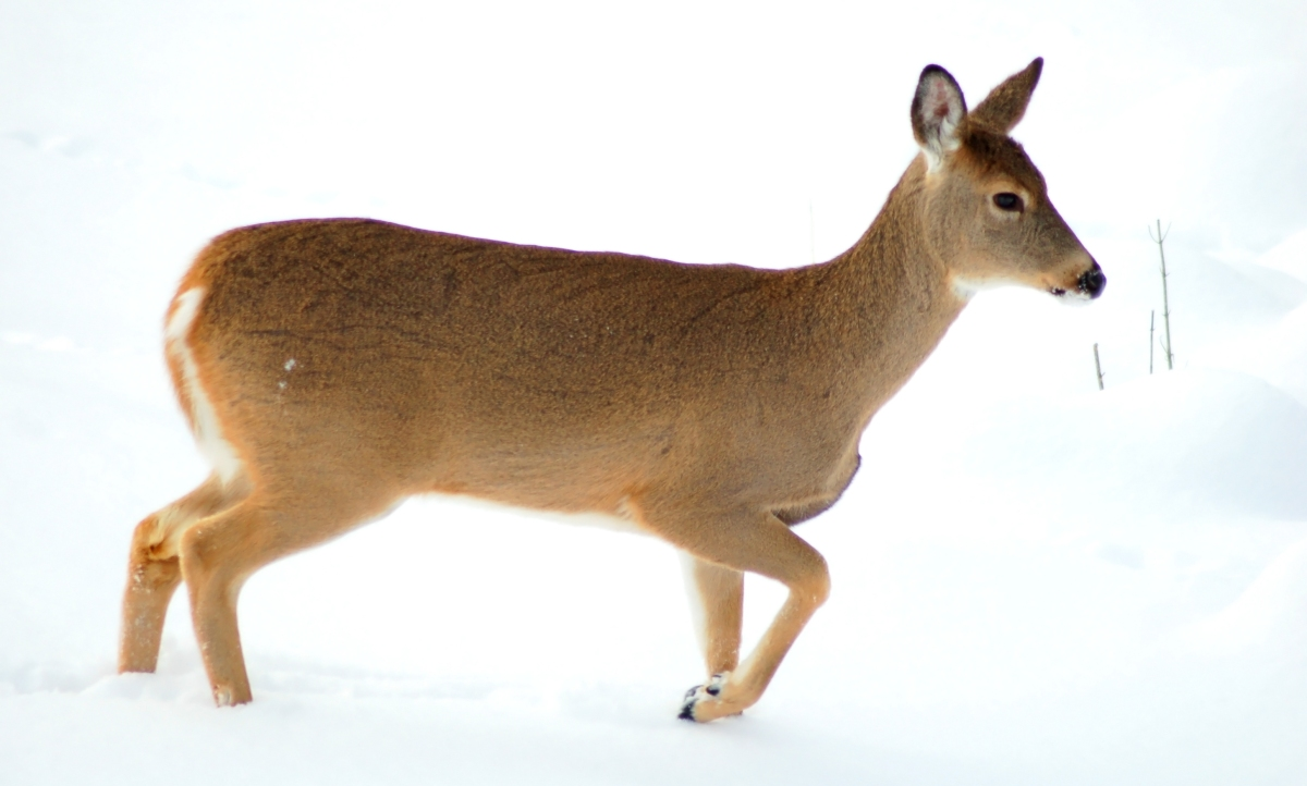 In Danger?  Don Deer Feet!