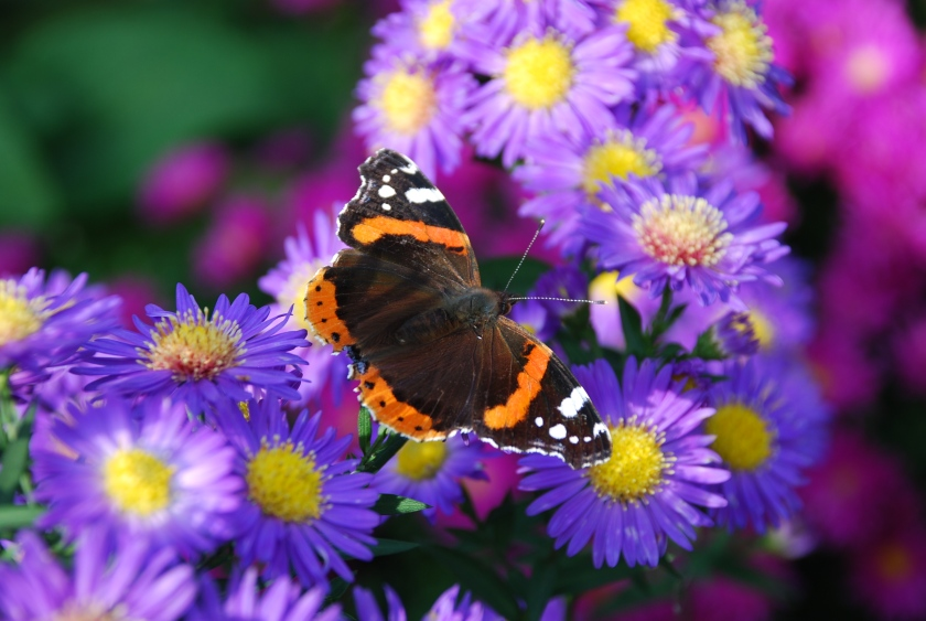 butterfly on flowers-1
