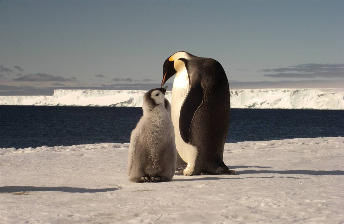 Emperor Penguins_Parent and Child_Love