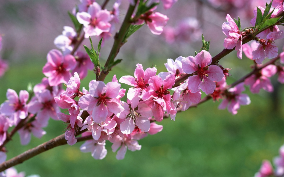 blossoms-cherry_pink-4