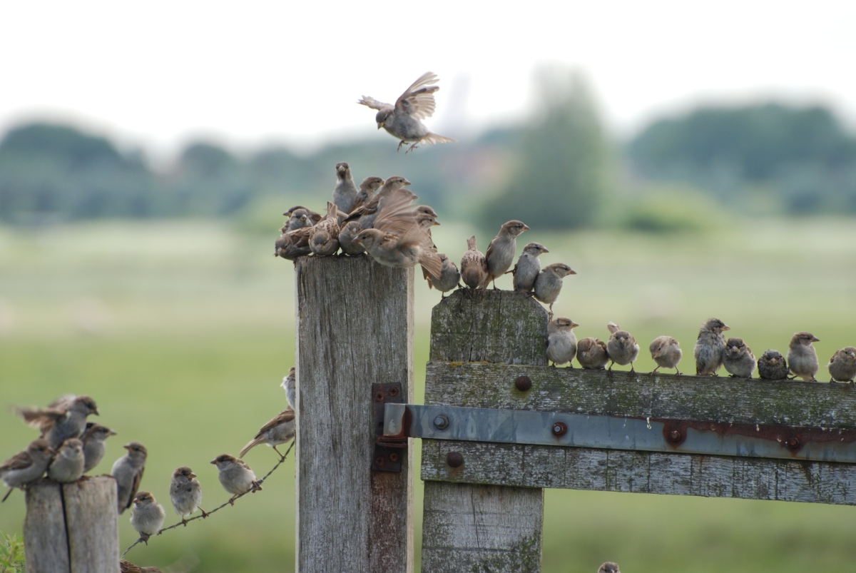 sparrows on a fence