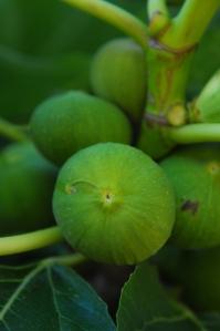 fig tree-3