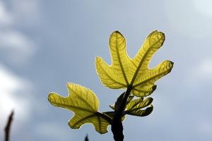 fig tree-5