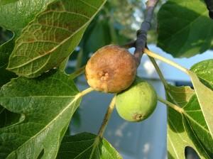 fig tree-6