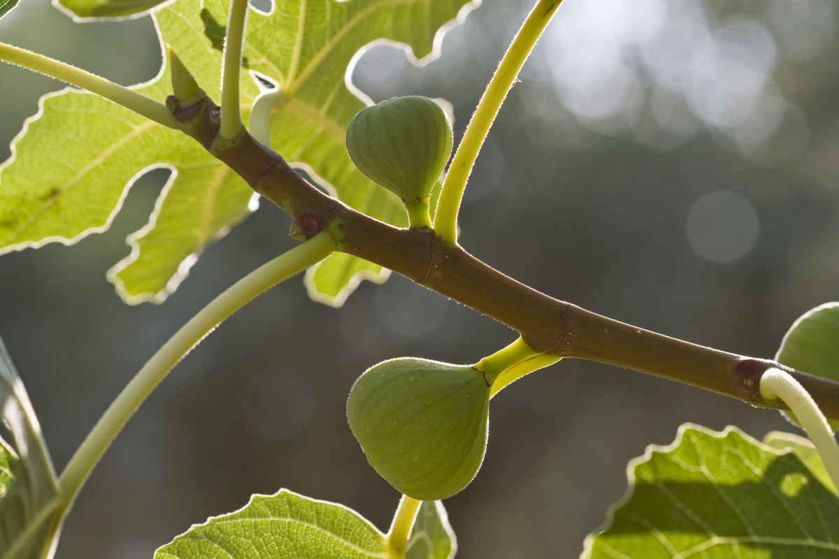 Being Faithfully Fruitful: Lessons from the Fateful Fig Tree