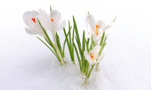 crocuses-white-3