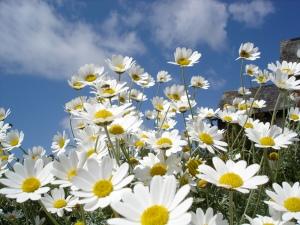 daisies-white-7