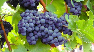 blue-grapes-77376_1280