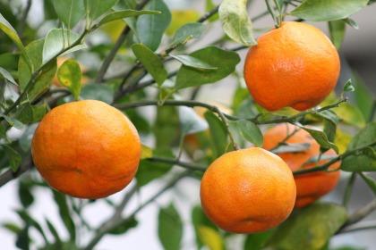 oranges-221694_1920
