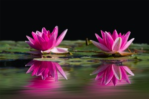water-lilies-481984_1920