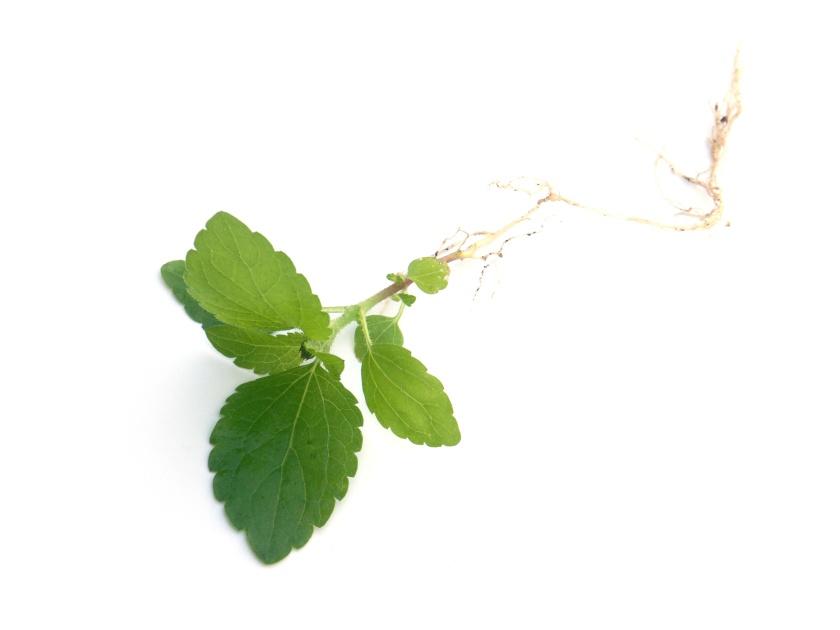 plantule