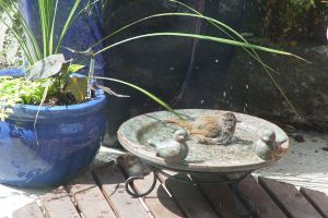 Bird_in_bird_bath