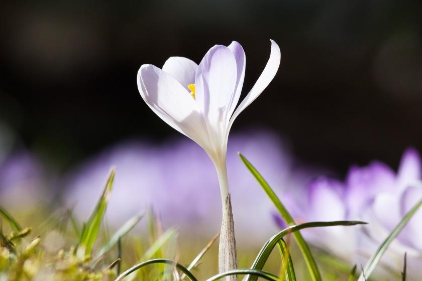 crocus spring-664406_1920