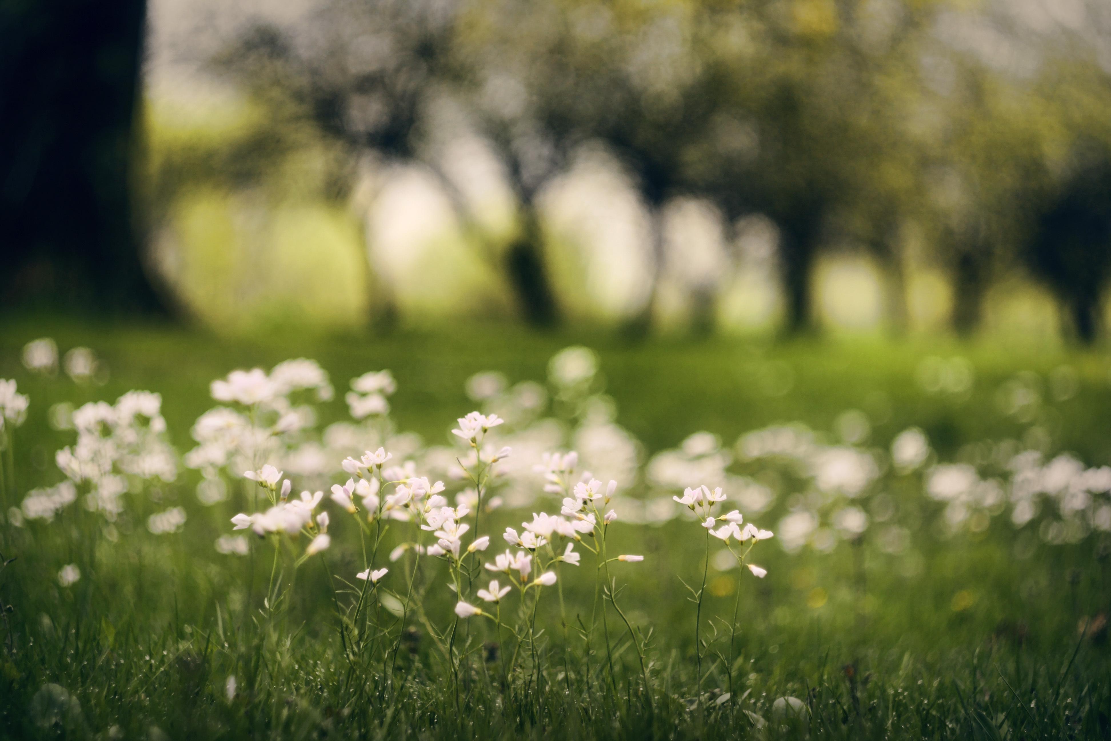 природа белые цветы nature white flowers без смс