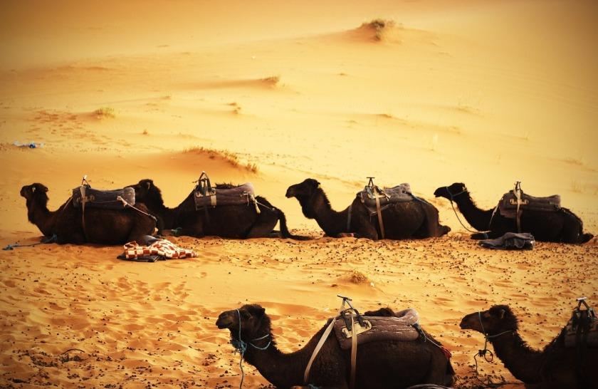 camels-692099_1280