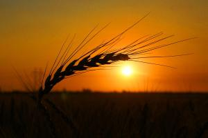sunrisewheatfield