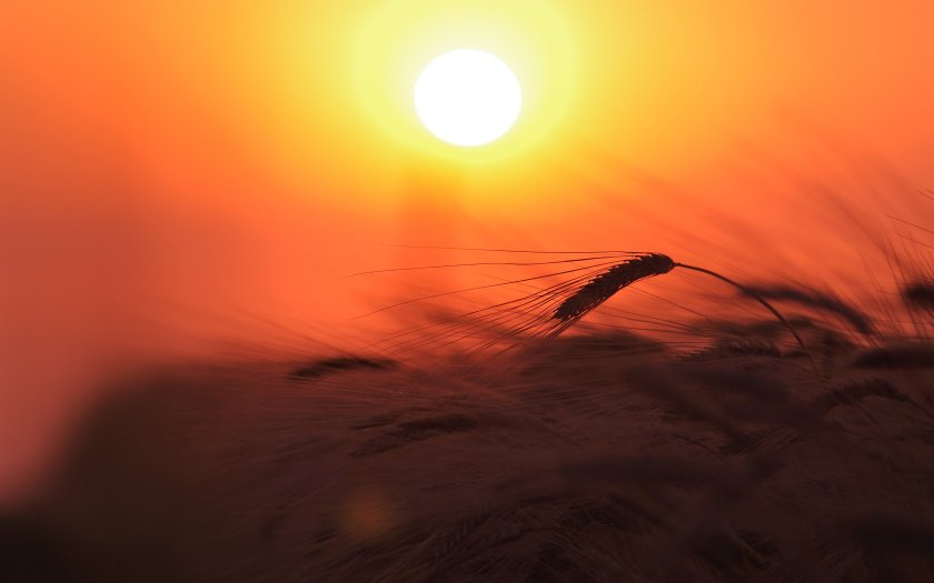 sunsetwheatfield